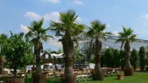 Riesen Palme Washingtonia miete & Lieferung für Garten Party Location