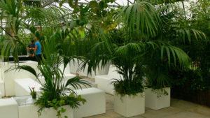 Karibik Palme Kentie für eine Veranstaltung oder Messe Event mieten