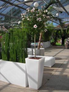 Sie können Sie für ihre Veranstaltung Hibiscus Pflanzen mieten.
