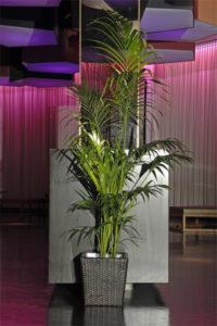 Kentia Palmen und Grünpflanzen in Party Location Frankfurt Rhein Main