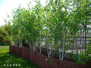 Mieten Sie Laubbäume wie Birken als Trennwand/Raumbegrünung v. Räumen