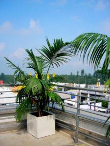 Für Ihre Dachterrassen Veranstaltung können Sie Palmen mieten.