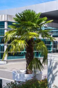 Die Chamaerops Palme ist im Gartentopf Standsicher und dekorativ